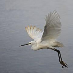 Bjarthegri - Little Egret