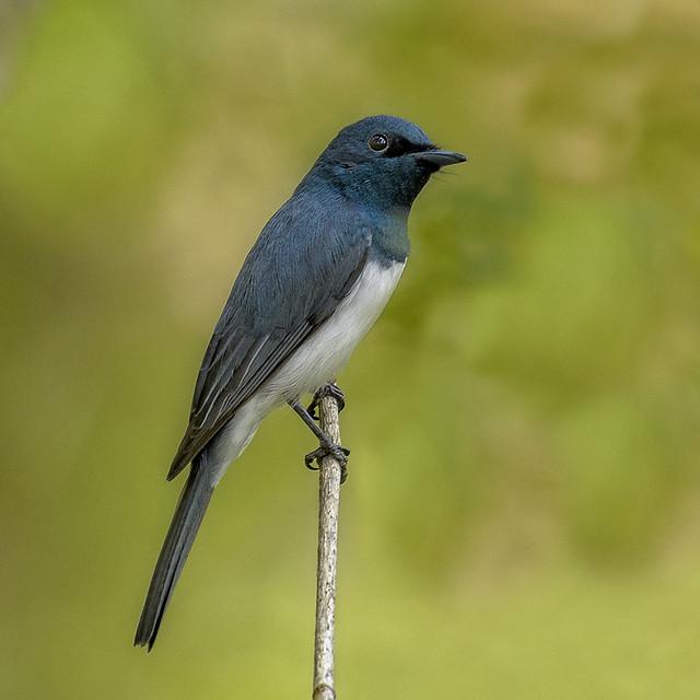 sandy camp road - ♂ leaden flycatcher