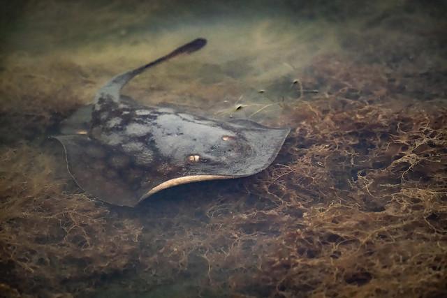 Ray - The Round Ray Like Fish