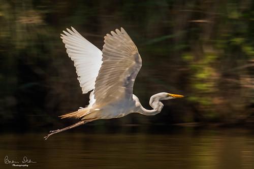 everlastingswamp greategret graftonhousesit slideshow bird housesitting 2019tour facebook flickr nsw