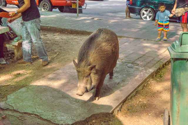 Wild boar on the loose at the parking lot of Erawan National Park in Kanchanaburi, Thailand