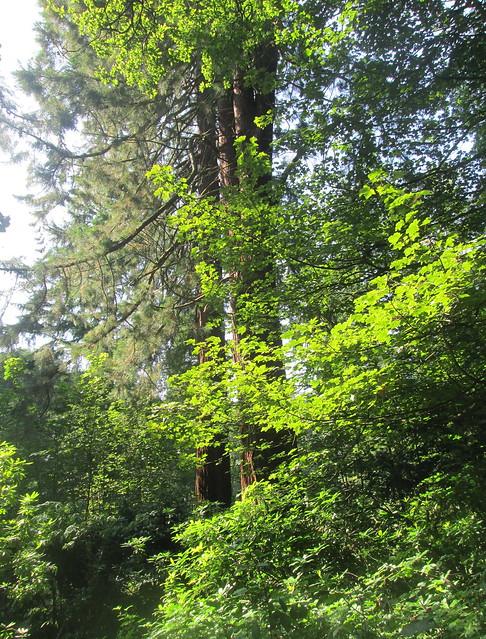 redwoods, Balbirnie Woodland, Fife