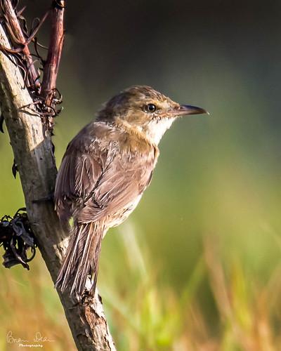 wetland graftonhousesit facebook flickr slideshow nationalpark birds 2019bookpending australianreedwarbler 2019tour housesitting swamp nsw