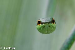 Culebra verde de la Hispaniola / Hispaniola Green tree snake (Uromacer catesbyi)