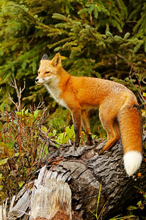 Red Fox Male Posing On An Old Beaver Cutting Tree