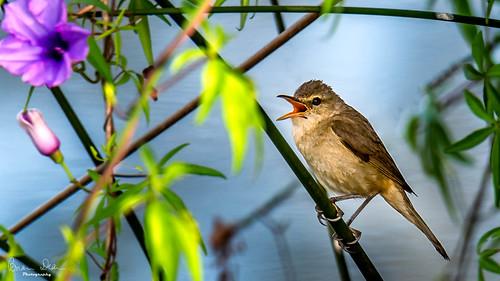 wetland bird facebook slideshow nationalpark flickr graftonhousesit australianreedwarbler 2019tour housesitting swamp nsw