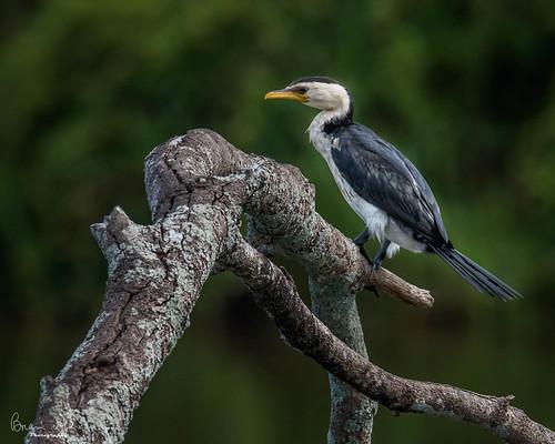 wetland graftonhousesit facebook bird open slideshow nationalpark littlepiedcormorant 2019bookpending housesitting 2019tour flickr swamp nsw