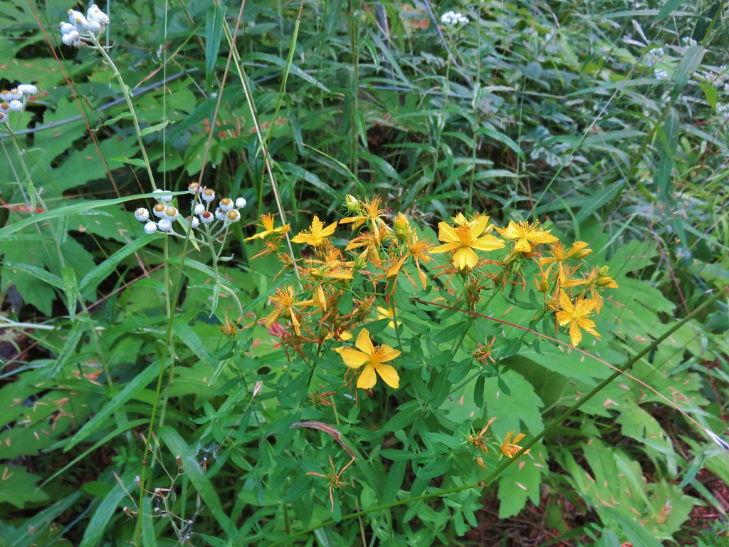 Scouler's St. Johns wort and pearly everlasting
