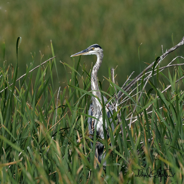 Great Blue Heron Relaxes In Cattails