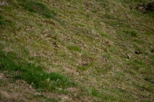Meadow pipit, Malvern slopes
