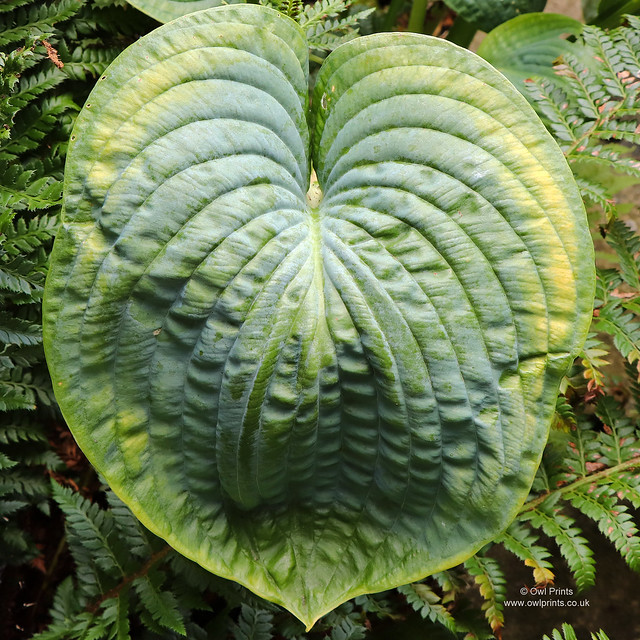 Hosta 'Sea Lotus Leaf'