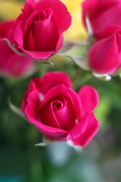 Red Roses      Rodenstock Heligon  50mm F 2.0
