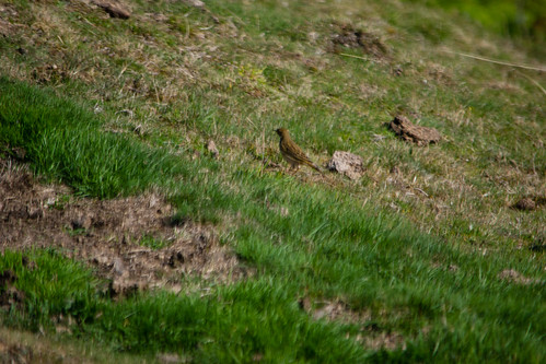 Meadow pipit, Malvern slopes