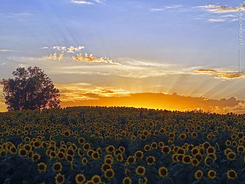kansas leavenworthcounty reno sunflower sunflowers sunflowerfield sunflowerfields grinterfarms grinterfarmssunflowers sunflowergeneralstore flower flowers color colour colors colours landscape bluesky yellow green blue rural country september 2019 september2019 latesummer latesummer2019 evening sunset sunsetting sunrays clouds usa ngc