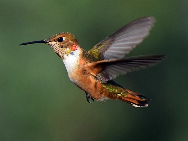 Allen's Hummingbird in Ramona, California on September 1, 2019