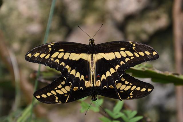 Thoaspage (Papilio thoas) -- Kopenhagen