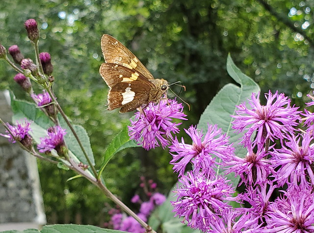 Skipper Butterfly Feeding On Tall Ironweed Flowers Taken With A Samsung Galaxy  S10 Smartphone 20190907_130610