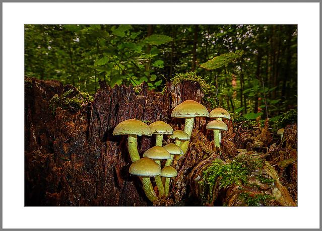 Pilzwetter (mushroom weather)