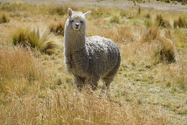 The beautiful alpaca