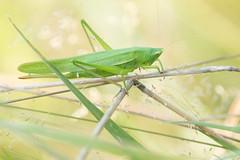 Ruspolia nitidula - Große Schiefkopfschrecke
