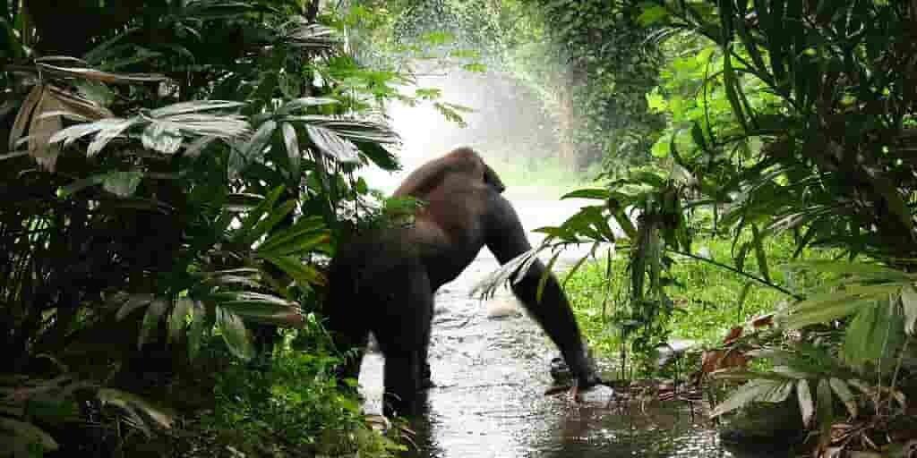 Les gorilles aiment jouer dans l'eau comme les humains