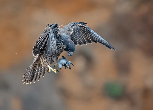 peregrine falcon youngster.