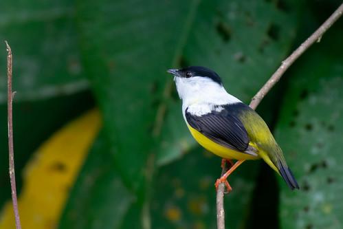 White-Collared Manakin (Manacus candei)