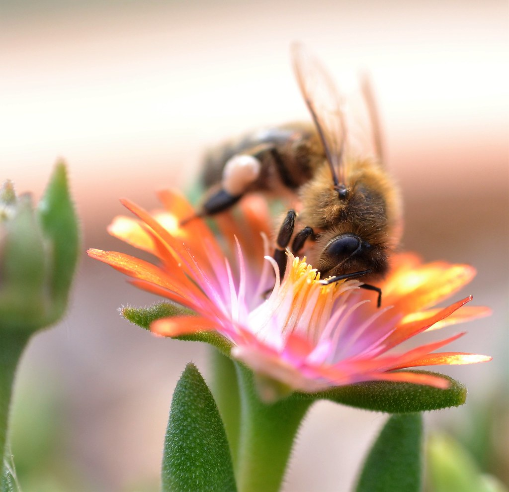 honey bee on Delosperma, Jewel of Desert