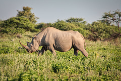 Rhino & Grass