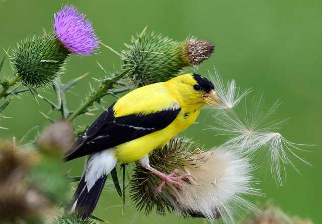 810_1516.P American Goldfinch