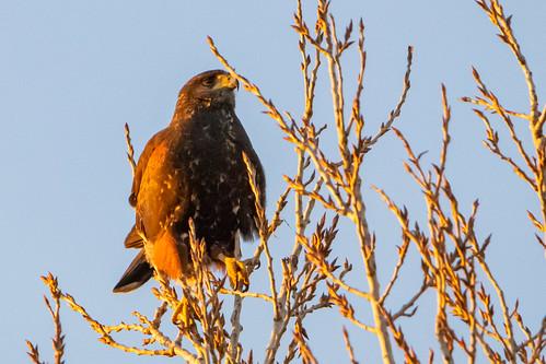 Gavilán mixto - Bay-winged hawk
