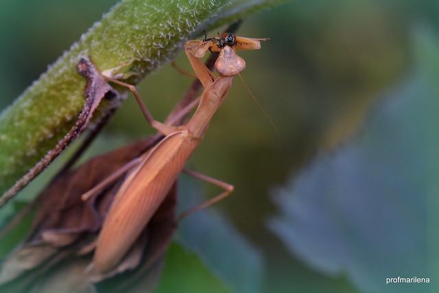 1-DSC_2058-001  mantis dinner , a flesh fly