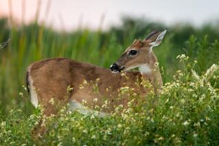 Deer at susnset