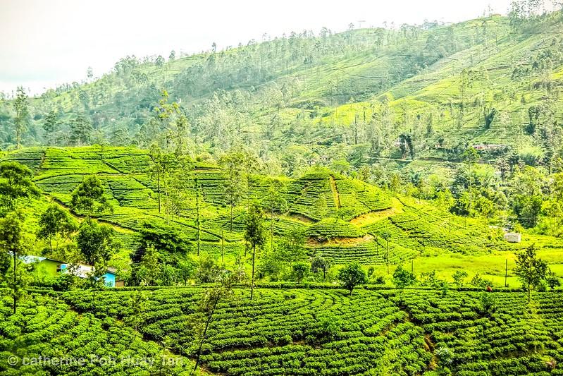 Tea plantation, Kandy, Sri Lanka