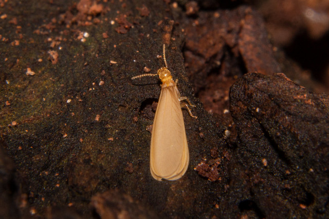 Termite (Reproductive Winged)