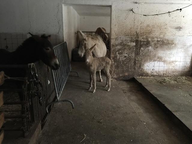 65 - Weißes Eselfohlen - Wirtshaus Nattererboden
