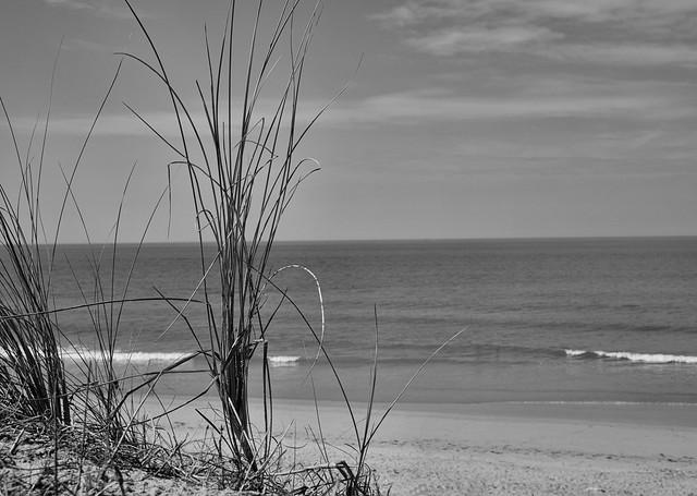 roseaux des dunes