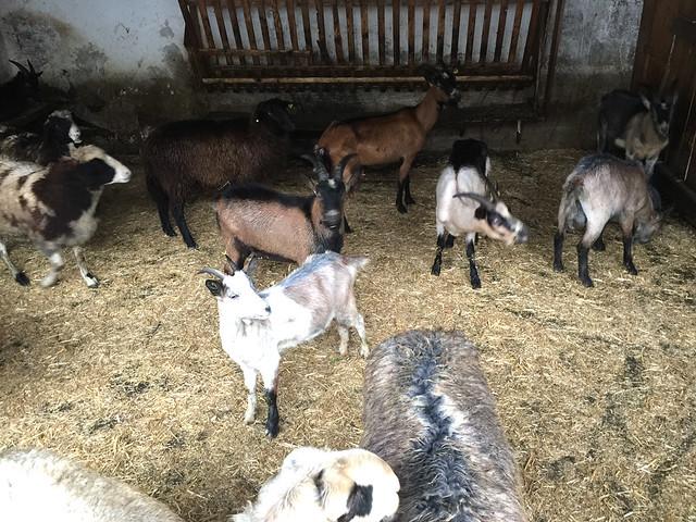 63 - Ziegen & Schafe - Wirtshaus Nattererboden