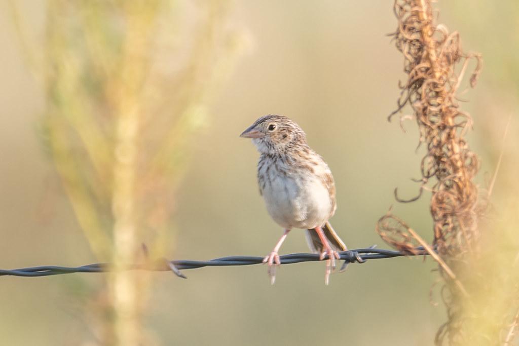 Vesper Sparrow- (3 of 3)