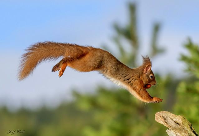 DSC3627  Red Squirrel...