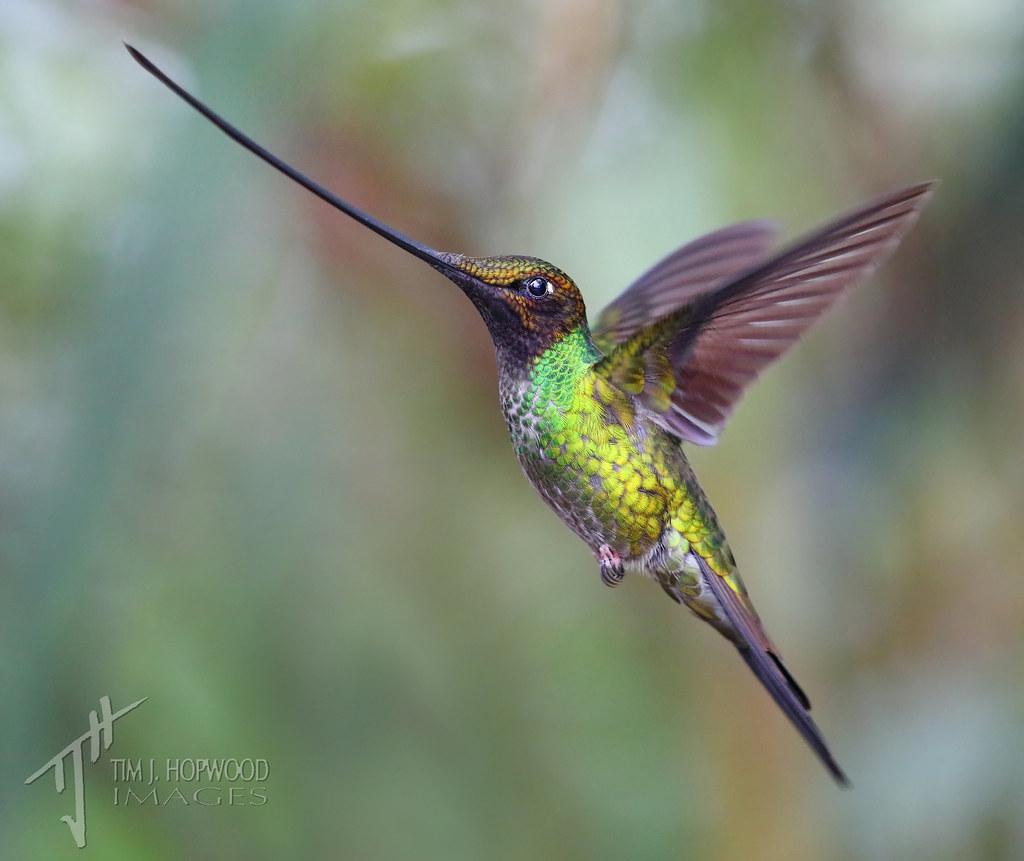 Swordbilled Hummingbird