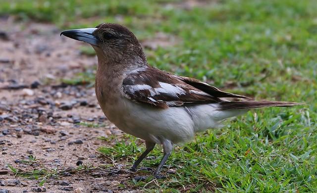 Pied Butcherbird-Trial Bay 241018 (2)
