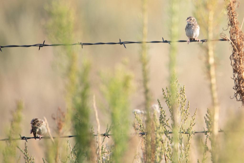 Vesper Sparrow- (2 of 3)