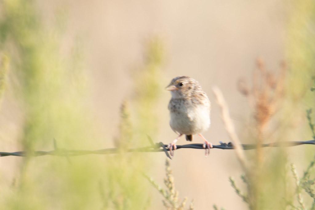 Vesper Sparrow- (1 of 3)
