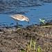 Flickr photo 'Semipalmated Sandpiper (Calidris pusilla)' by: Mary Keim.