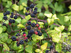Blackberries-1.jpg