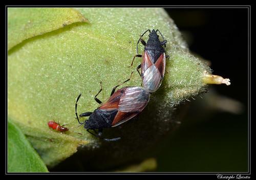 Punaise du tilleul (Oxycarenus lavaterae)