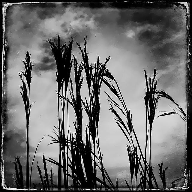 Late Summer Prairie Grasses