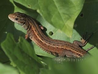 Common Lizard Woodwalton Fen.