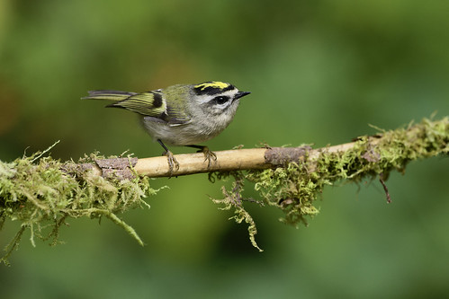 Golden-crowned Kinglet | by Martin Dollenkamp